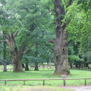 Ivenacker Oaks