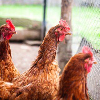 Hier hat das Huhn zu tun